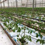Odling hos Viklunda gård i bioenergi växthus