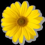 Gul blomma Daisy