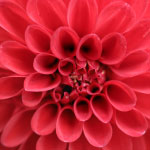 Röd dahlia