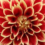 Röd gul Dahlia